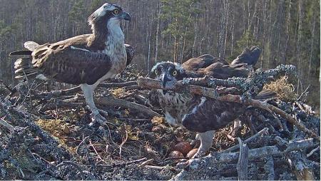 Snesení vajíček orlovci 1 hnízdo.