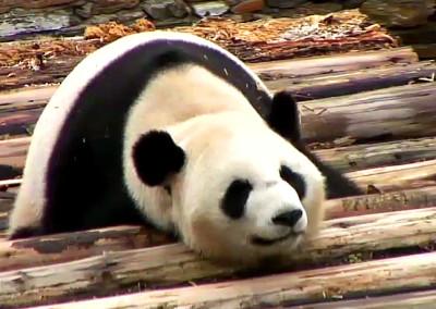 Panda s bobkem