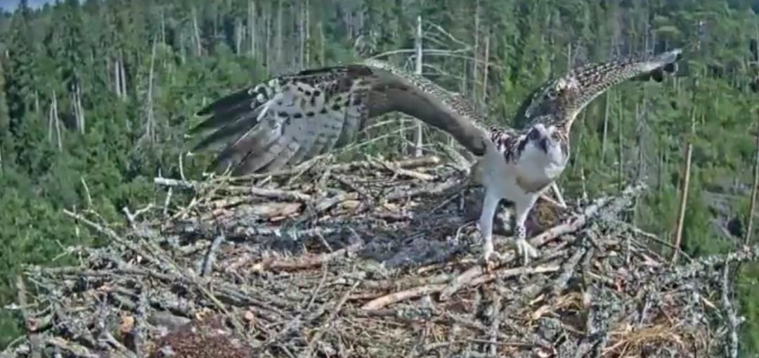 První let Ivara orlovci hnízdo 2