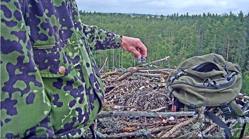 Kroužkování Orlovců říčních Estonsko hnízdo 1.