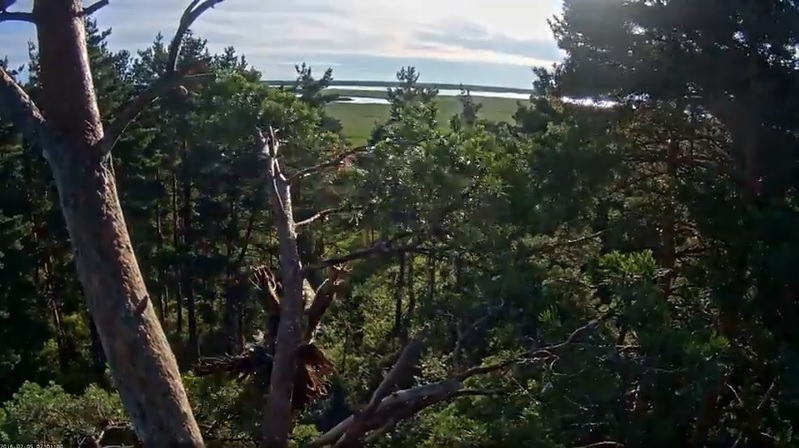 Orel mořský Taibu – pád z hnízda