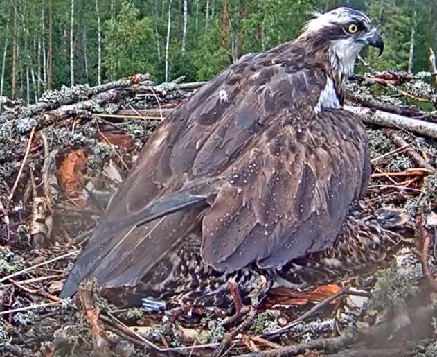 Péče v hnízdě o malé orlovce při dešti[:en]Orlovec říční[:de]Orlovec říční[:fr]Orlovec říční[:es]Orlovec říční