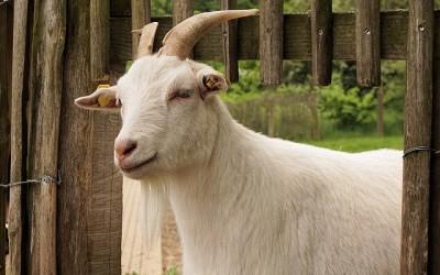 Kozí farma – webkamera