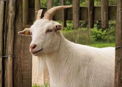 goat-1418643_640