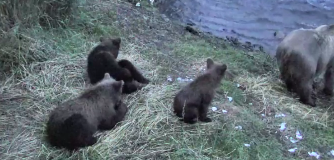 Medvědice s mláďaty