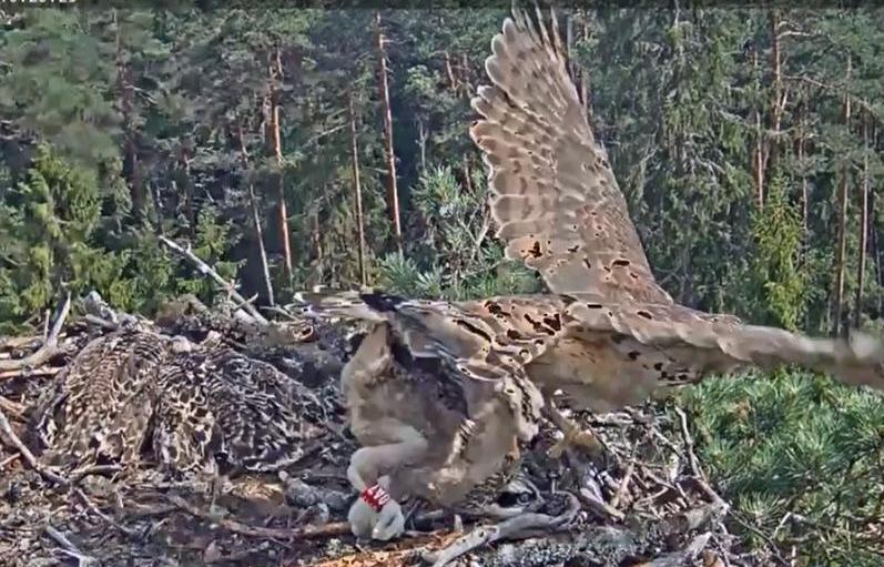 Útok jestřába na hnízdo orlovců Lotyšsko