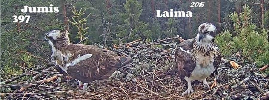 Hnízdící pár orlovců v lotyšském hnízdě 2016