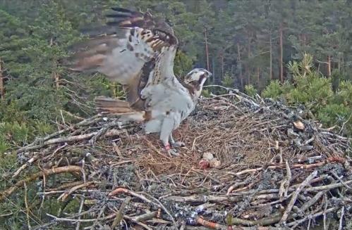 Snesení vajíček,lotyšské hnízdo orlovců