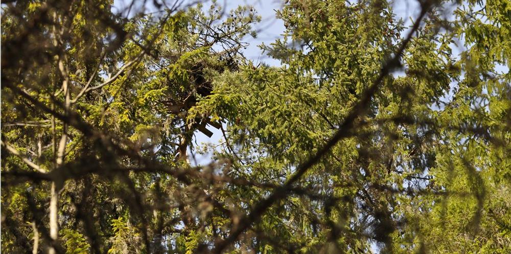 Hnízdo orlovců Lotyšsko.