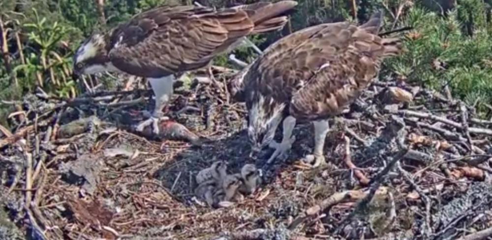 Líhnutí mláďat orlovce -Lotyšsko