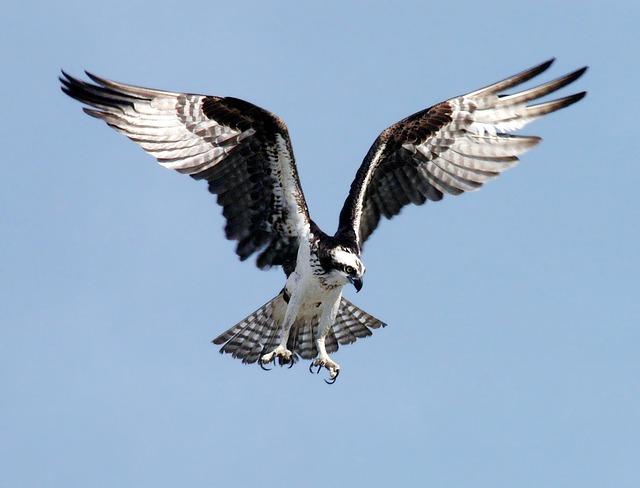 Orlovec osprey