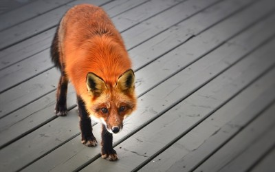 Lišky webkamera z Dublinu