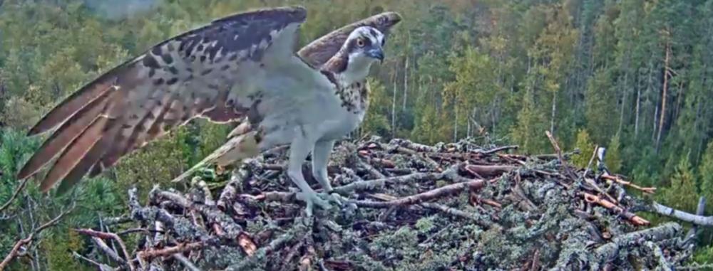 Orlovci Estonsko hnízdo 1 – neznámá návštěva video záznam