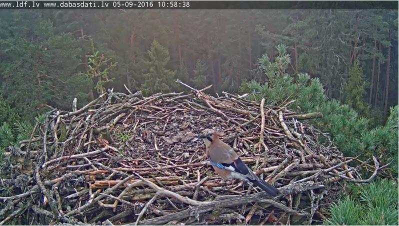 Sojka na hnízdě orlovců Lotyšsko