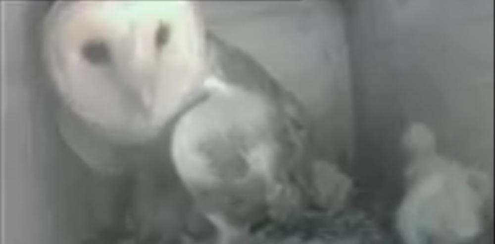 První let mladé sovy – video záznam