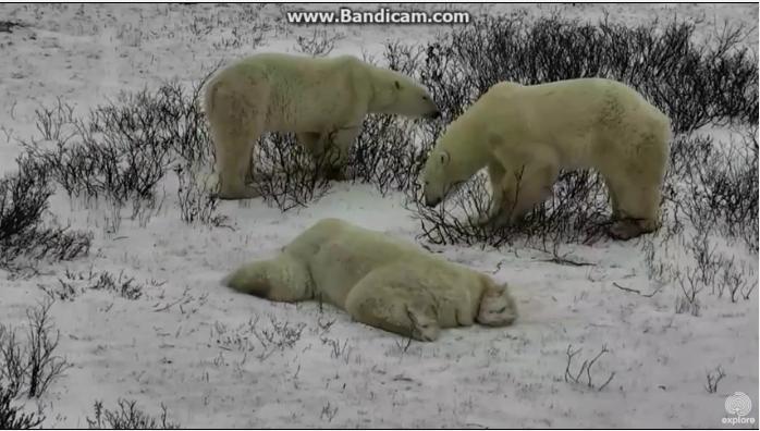 NP Wapusk – lední medvědi