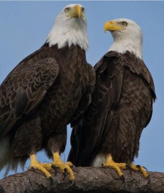 Bald Eagle - nest on rock live