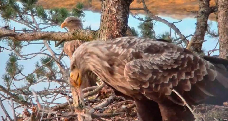 Orel mořský Norsko video záznam