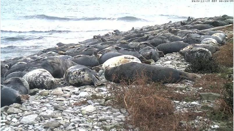 Tuleň kuželozubý Estonsko videozáznamy