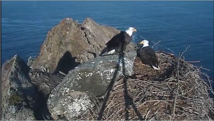 Kalifornie orlí hnízdo na skále videozáznam