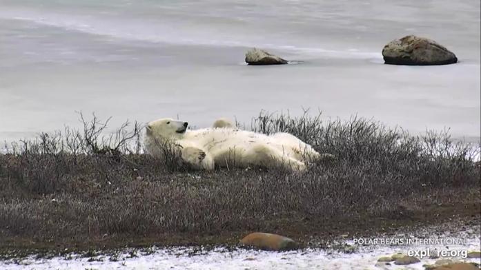 NP Wapusk – lední medvědi videozáznam