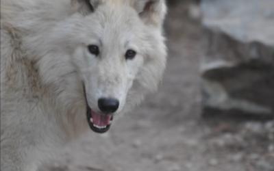 Wolf - webcam du centre de sauvetage du Minnesota