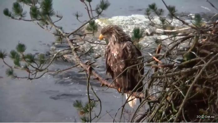 Orli mořští na hnízdě v Norsku videozáznam