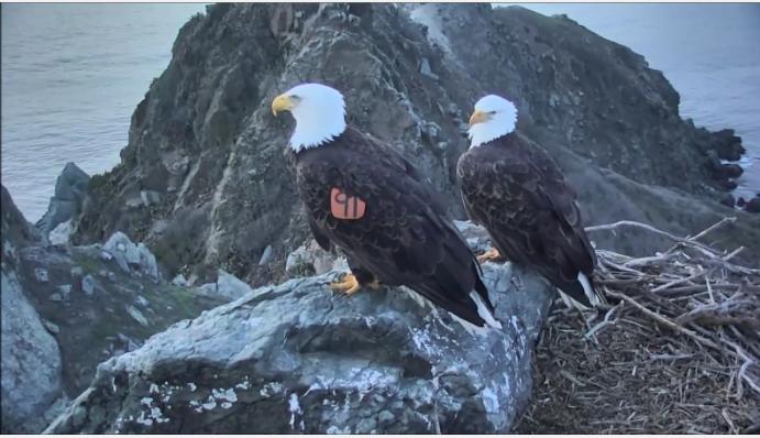 Páření orlů bělohlavých na skalním hnízdě videozáznamy