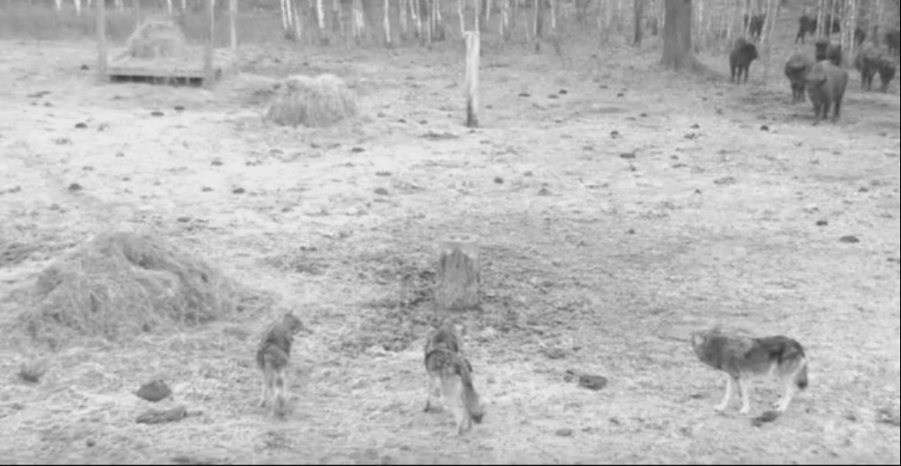 Skupina 4 vlků na pastvině se zubrama