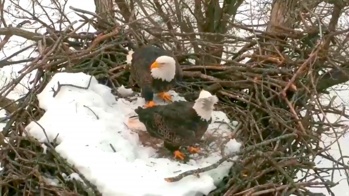 Orli při úpravě hnízda v Decorah videozáznam