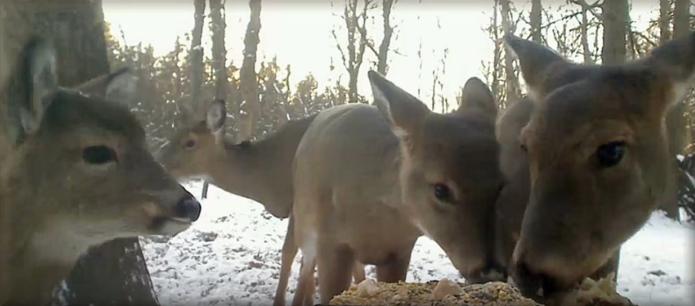 Fotografie jelenců,laní,krůt u krmítka v Minnesotě