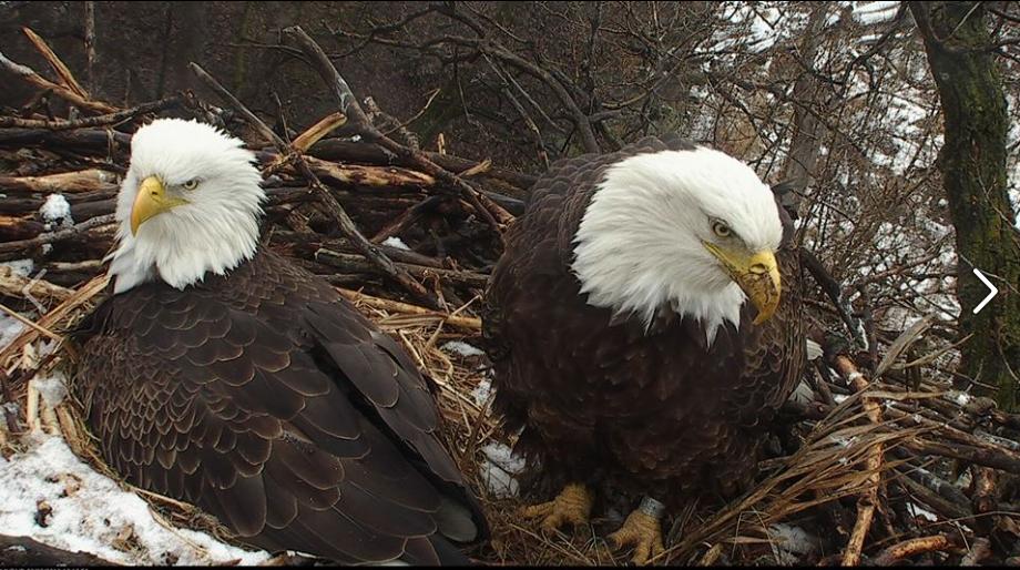 Orel bělohlavý Minnesota DNR orlí pár