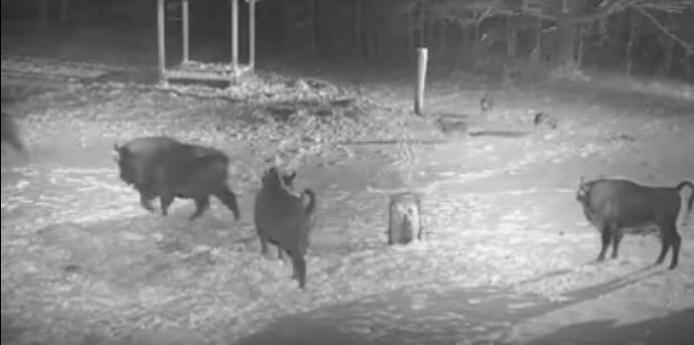 Útok vlků na zubry videozáznam