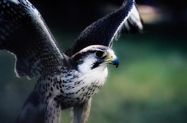 Sokol stěhovavý – hnízdo Francie