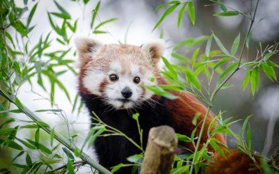 Panda červená webkamera z výběhu