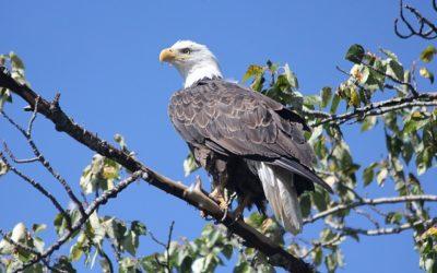 Hnízdo orla bělohlavého – webkamera Dale Hollow