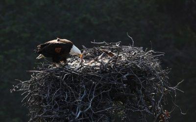 Hnízdo orla bělohlavého Santa Cruz živě
