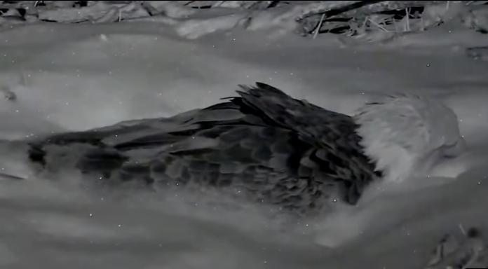 Decorah zasněžená samička inkubuje vajíčka – videozáznam