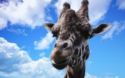 Žirafa v Zoo webkamera