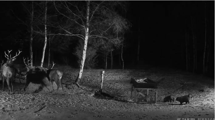 Krmelec v Estonsku videozáznamy jeleni a psíci mývalovití