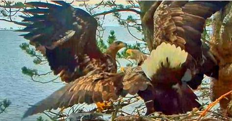 Orel mořský Norsko nezvaný mladý orel na hnízdě – videozáznam