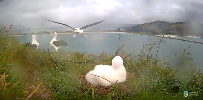 Albatros královský videozáznamy