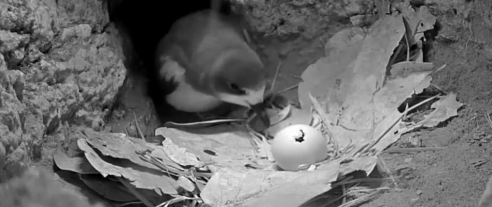 Buřňák bermudský prasklinka ve vajíčku