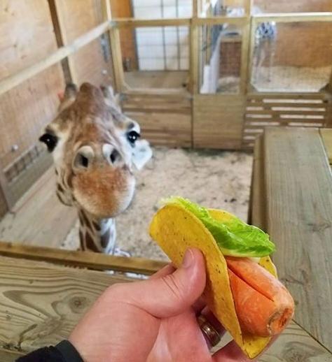 Žirafa aktualizace AAP