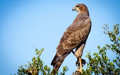 Sokol stěhovavý- webkamera z hnízda v Minessotě