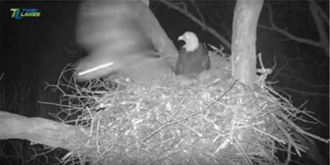 Dale Hollow orel bělohlavý – soví útoky videozáznamy