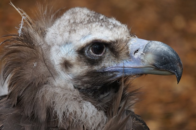Black vulture webcam live, Spain