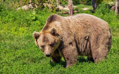 Webkamera medvědů hnědých v rezervaci Libearty