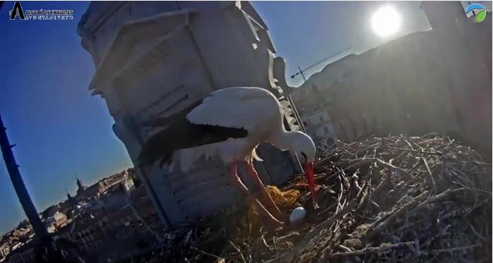 Čápi Španělsko první vajíčko videozáznam
