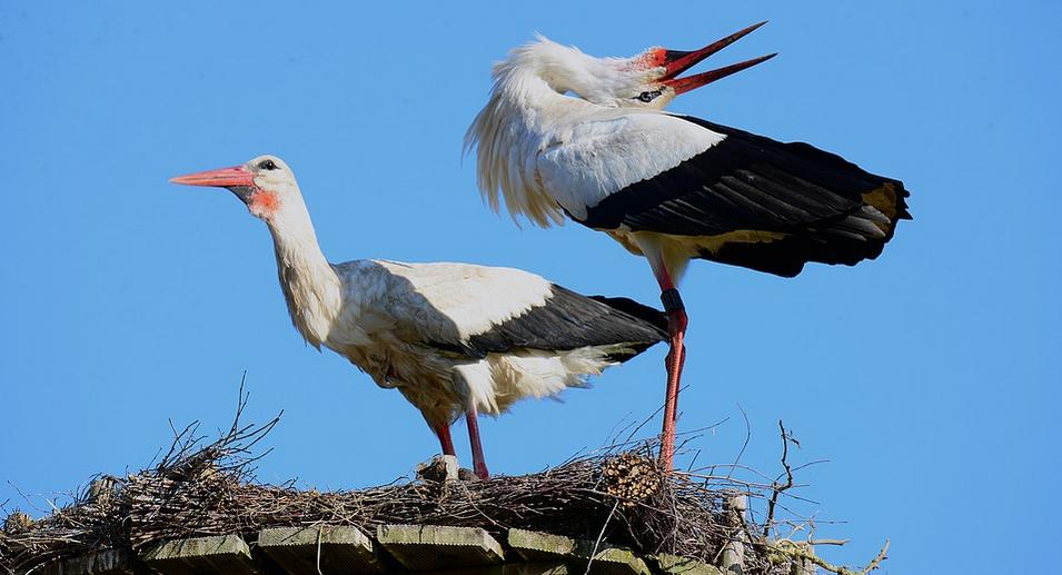 Hnízdo čápa bílého ve Španělsku
